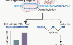 TDP-43-DNA-methylation-may-contribute-to-the-mystery-of-age-dependent